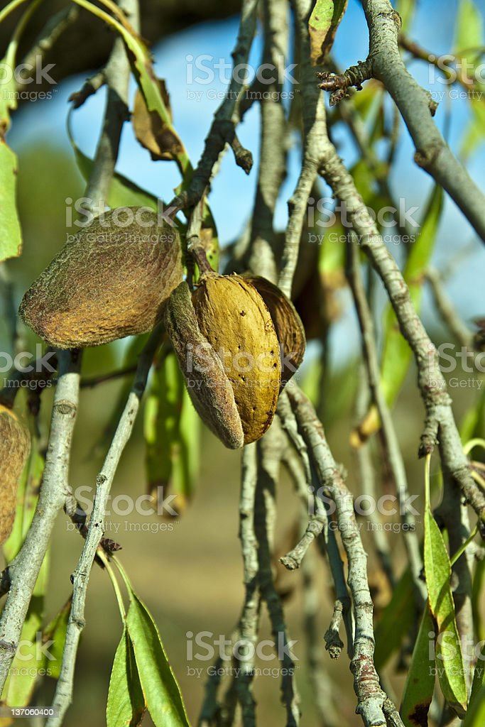 almonds in one branch stock photo