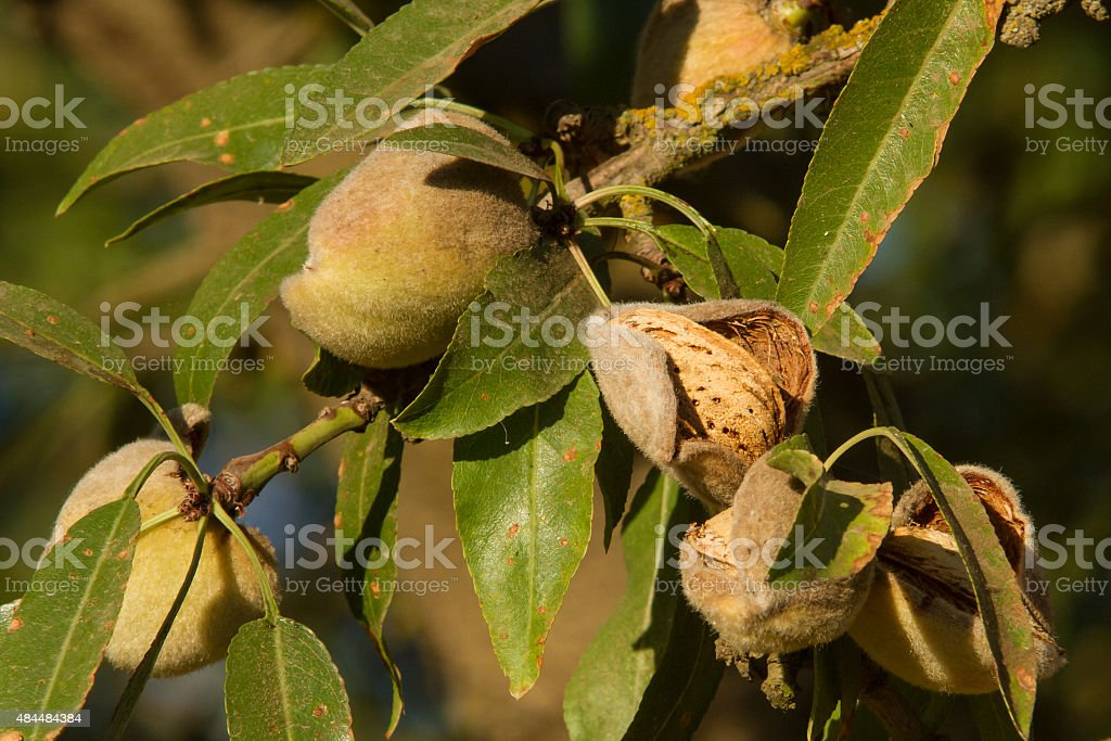 Almonds ready to be harvested stock photo