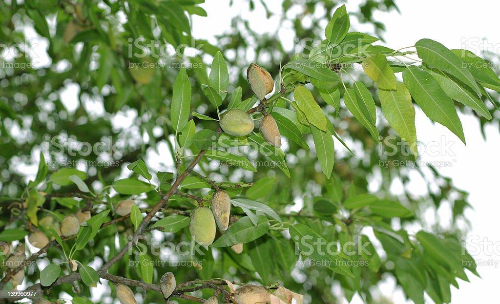Amande-arbre photo libre de droits