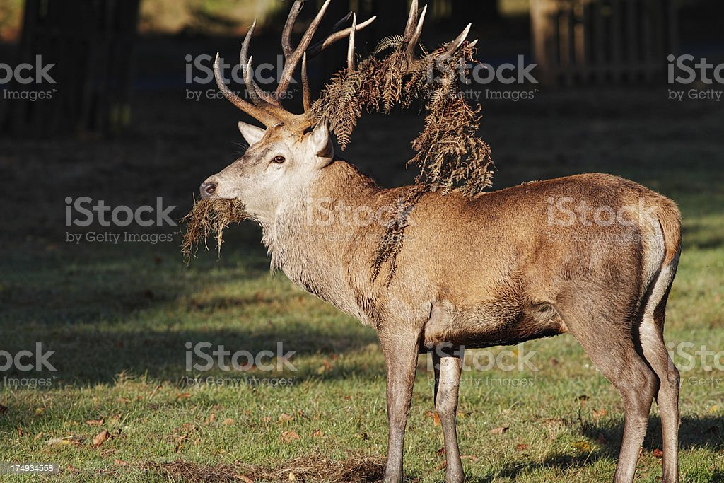 Red deer stag feeding with fern frond decoration on antler royalty-free stock photo