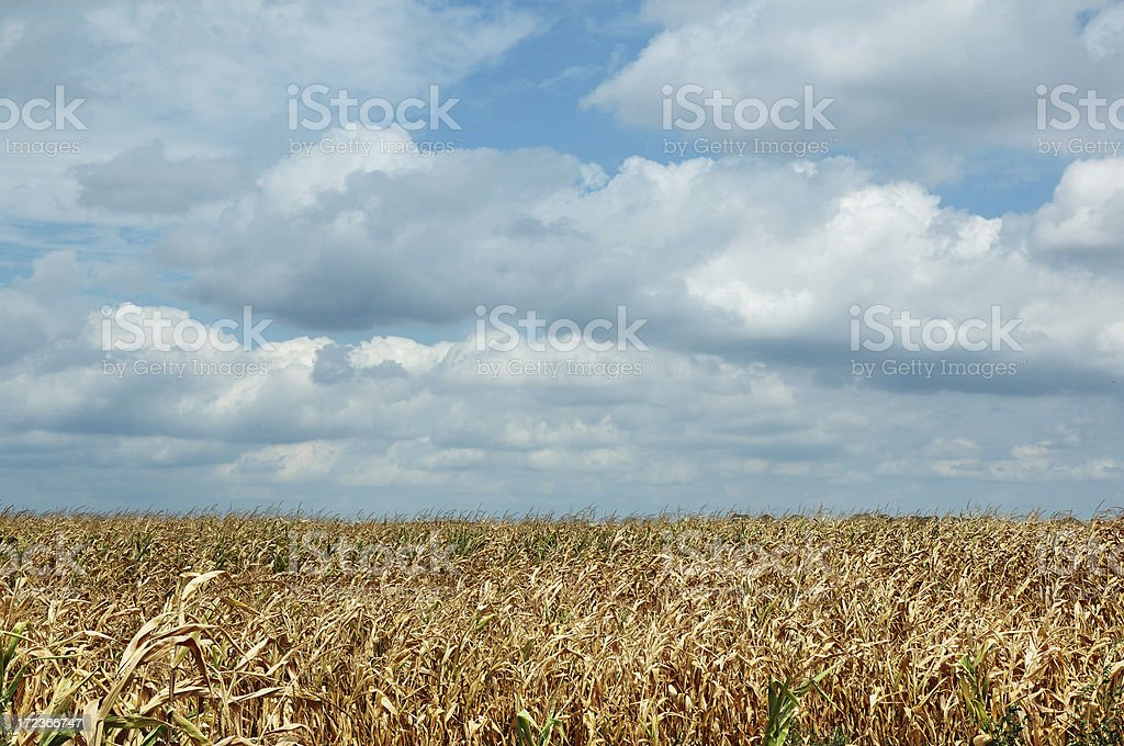 Almost Harvest Time stock photo