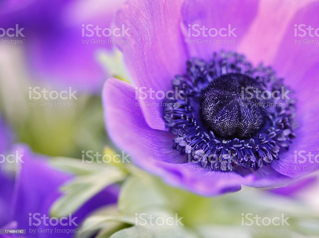 Almost like painted anemone royalty-free stock photo