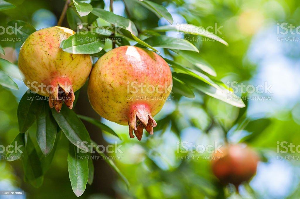 Almost ripe colorful pomegranate stock photo