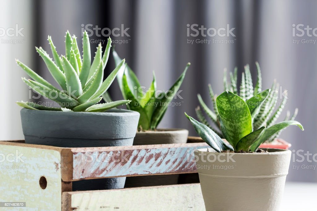 Aloe brevifolia succulent and snake plant in living room stock photo