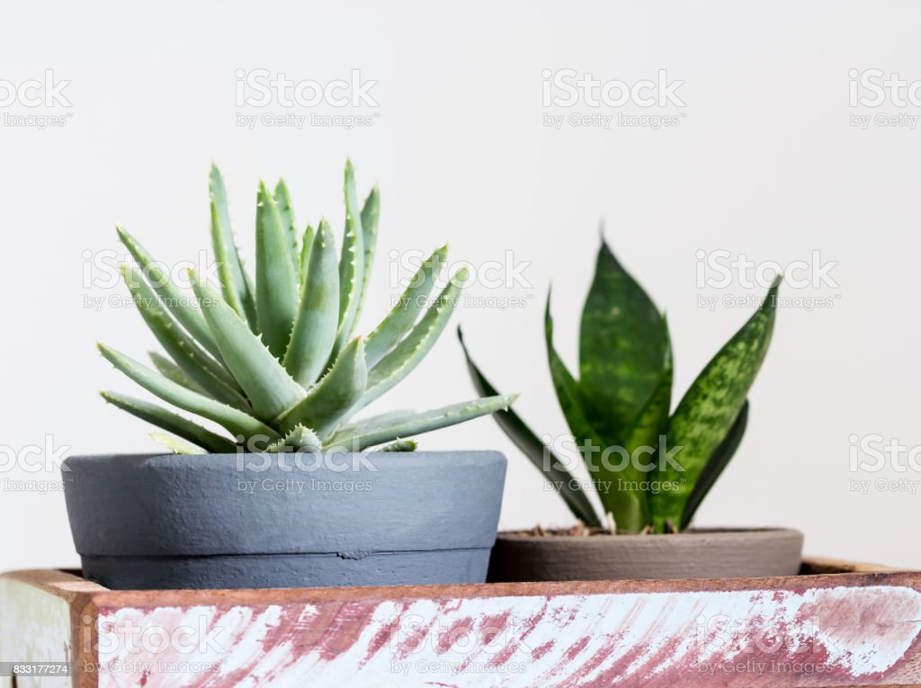Aloe brevifolia succulent and snake plant stock photo