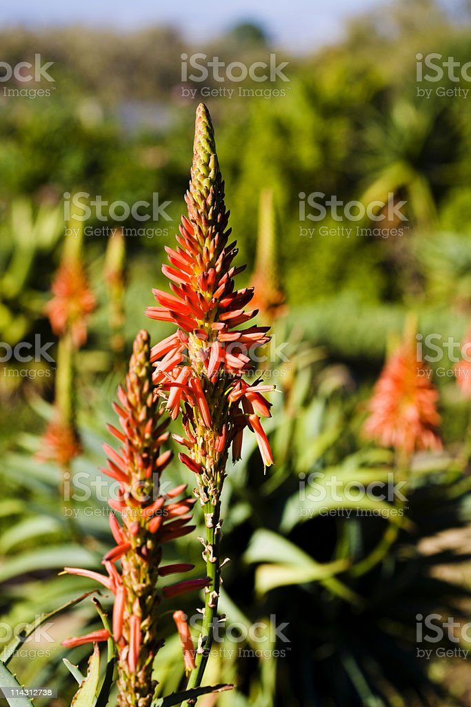Aloe flowers stock photo