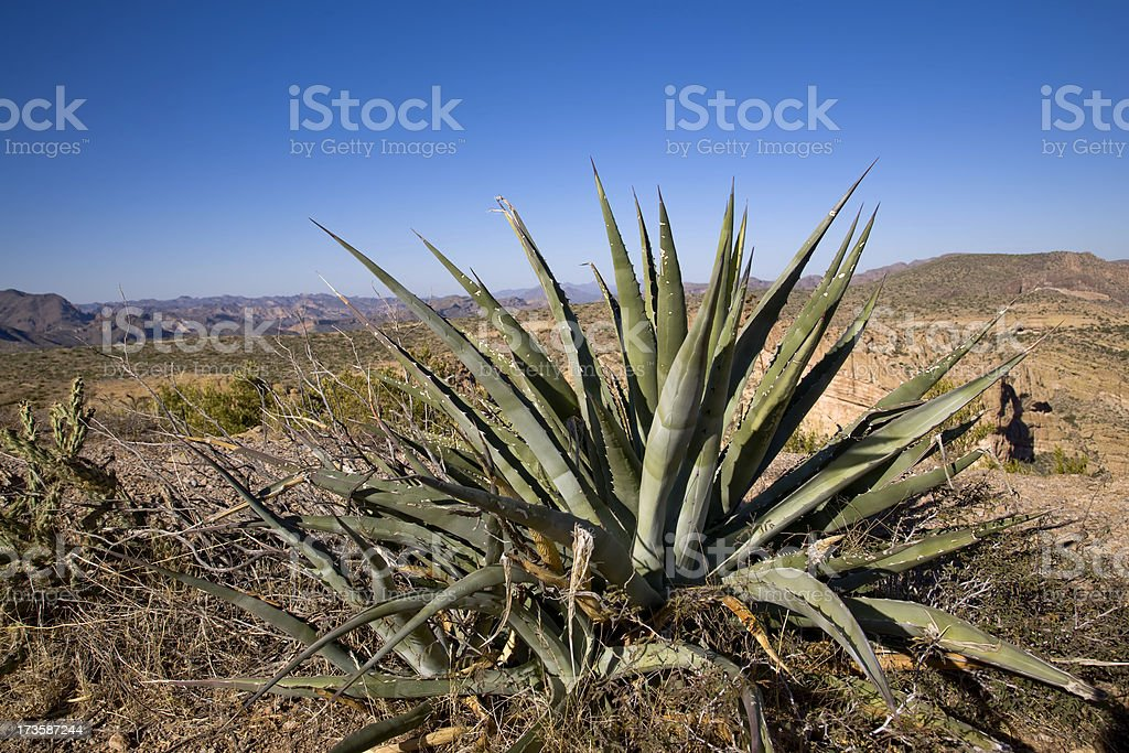 Aloe in the Desert royalty-free stock photo