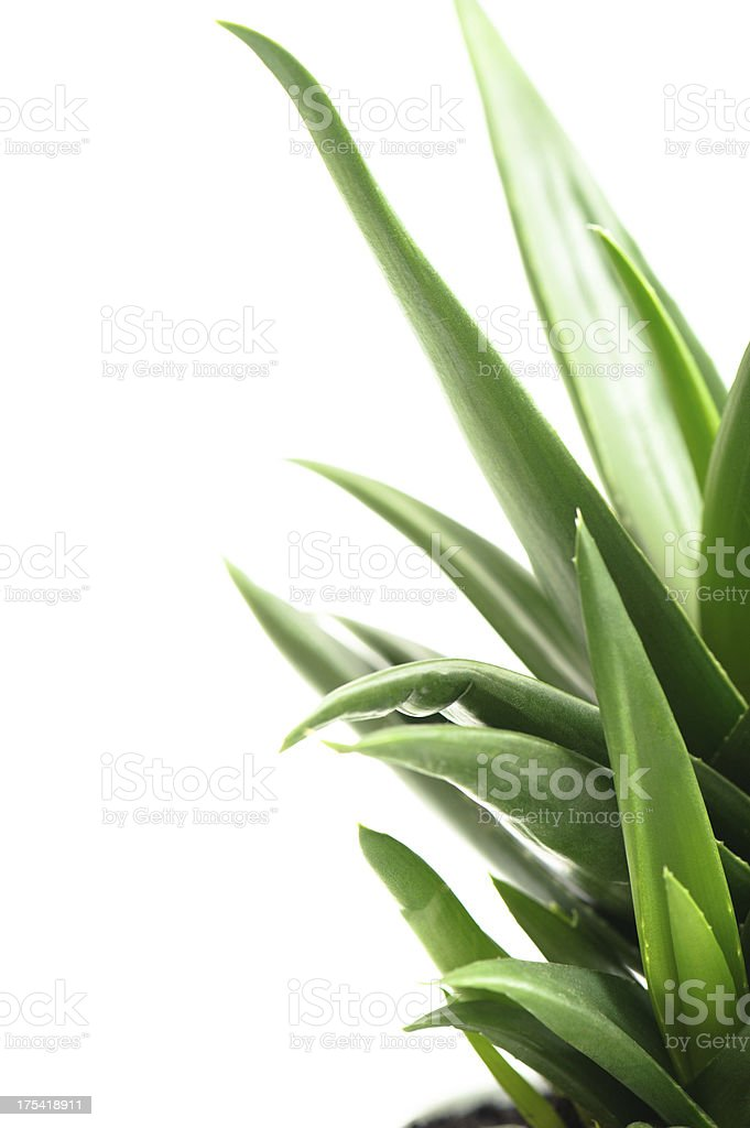 Aloe Leafs stock photo
