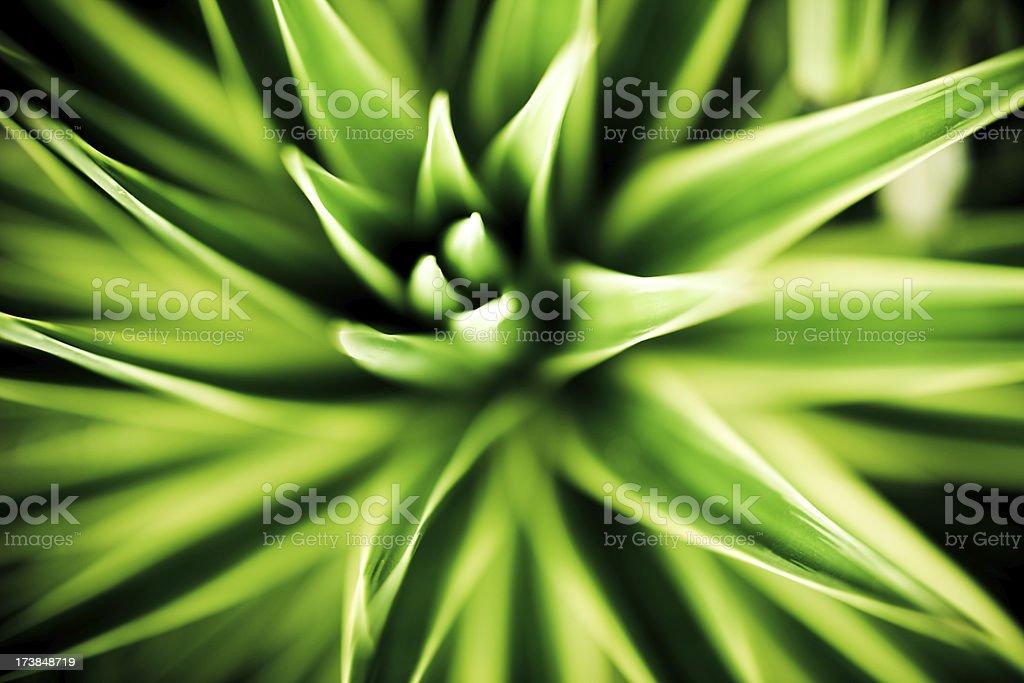 Aloe royalty-free stock photo