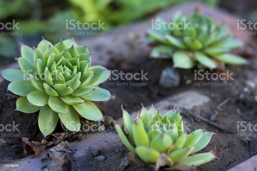 Aloe plant closeup on green surface royalty-free stock photo