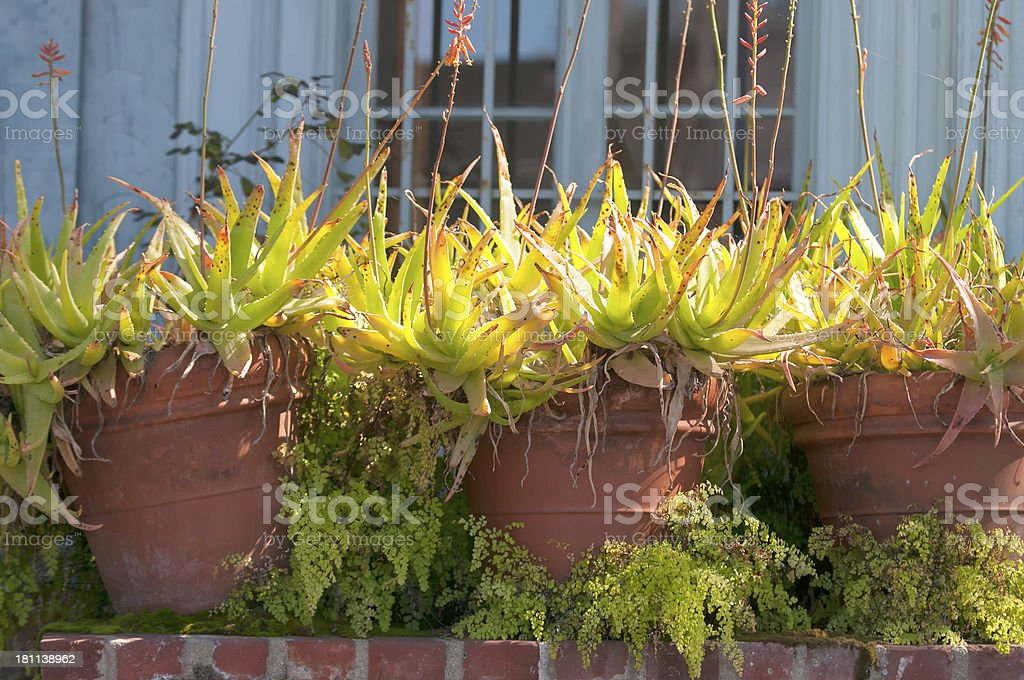 Aloe Plants in Terra Cotta Pots royalty-free stock photo