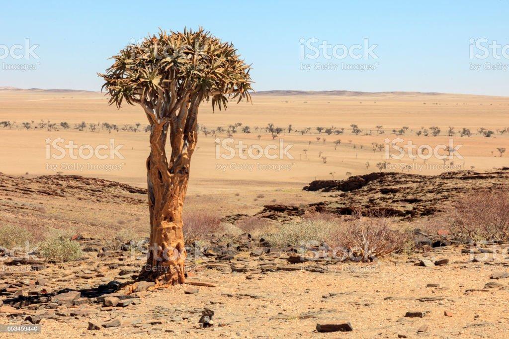 Aloe tree in Namibia stock photo