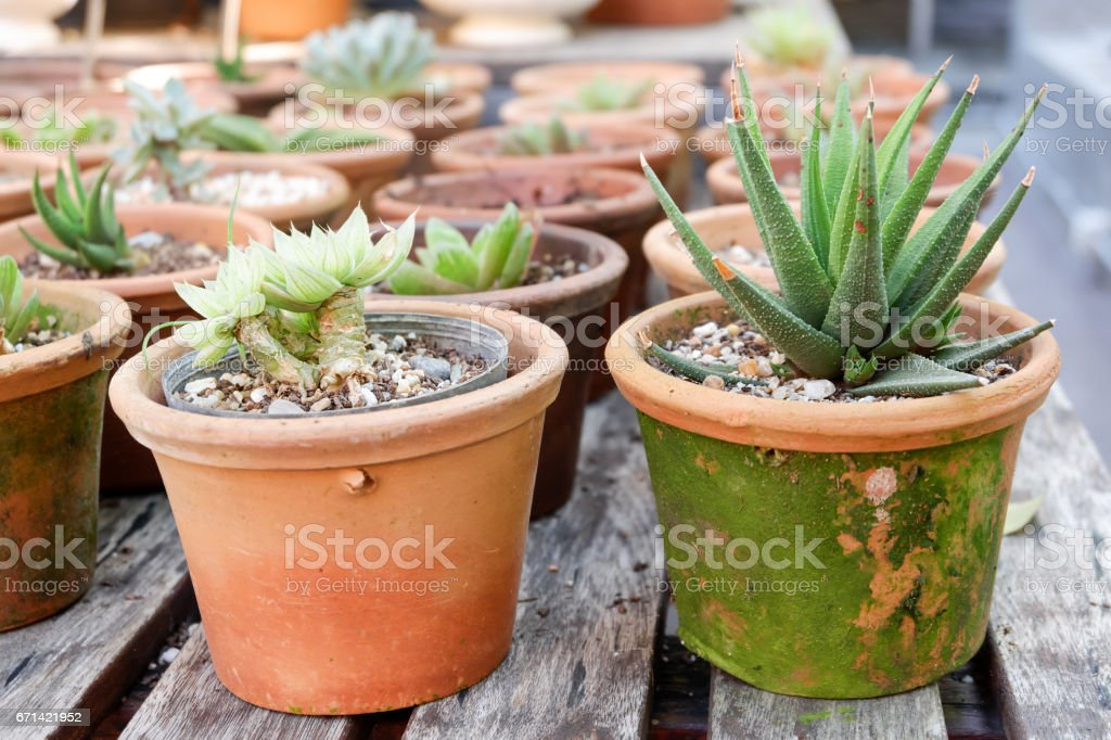 Aloe Vera, Aloin, Barbados, Jafferabad, Star Cactus in pot stock photo