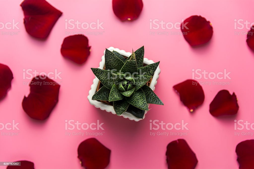 Aloe Vera Flower, Pink Background and Red Rose Leaves stock photo