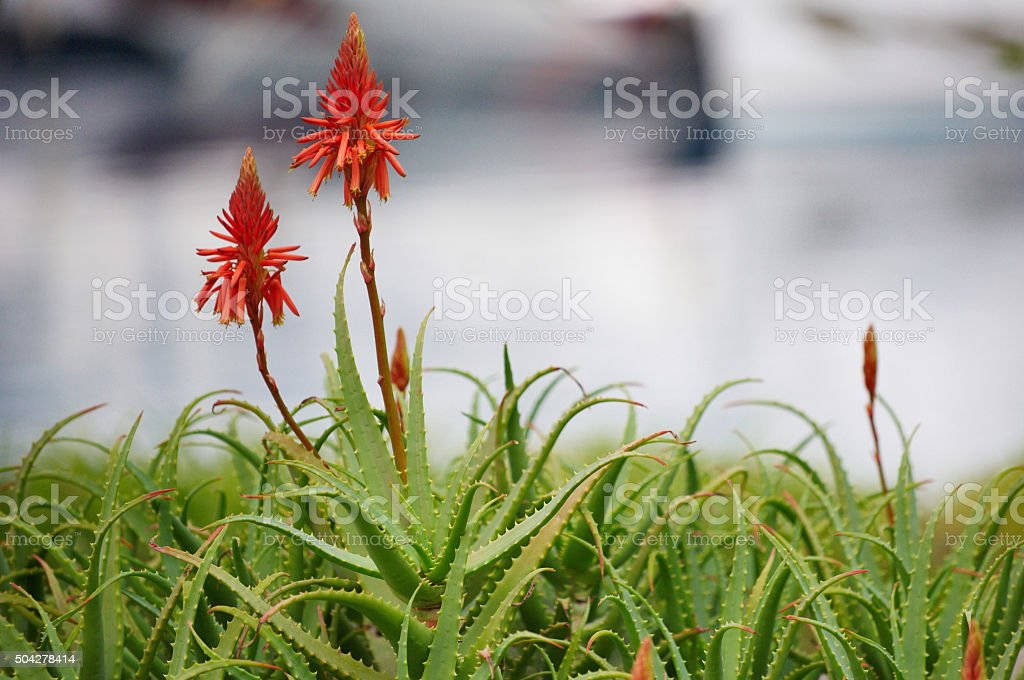 aloe vera flowers stock photo