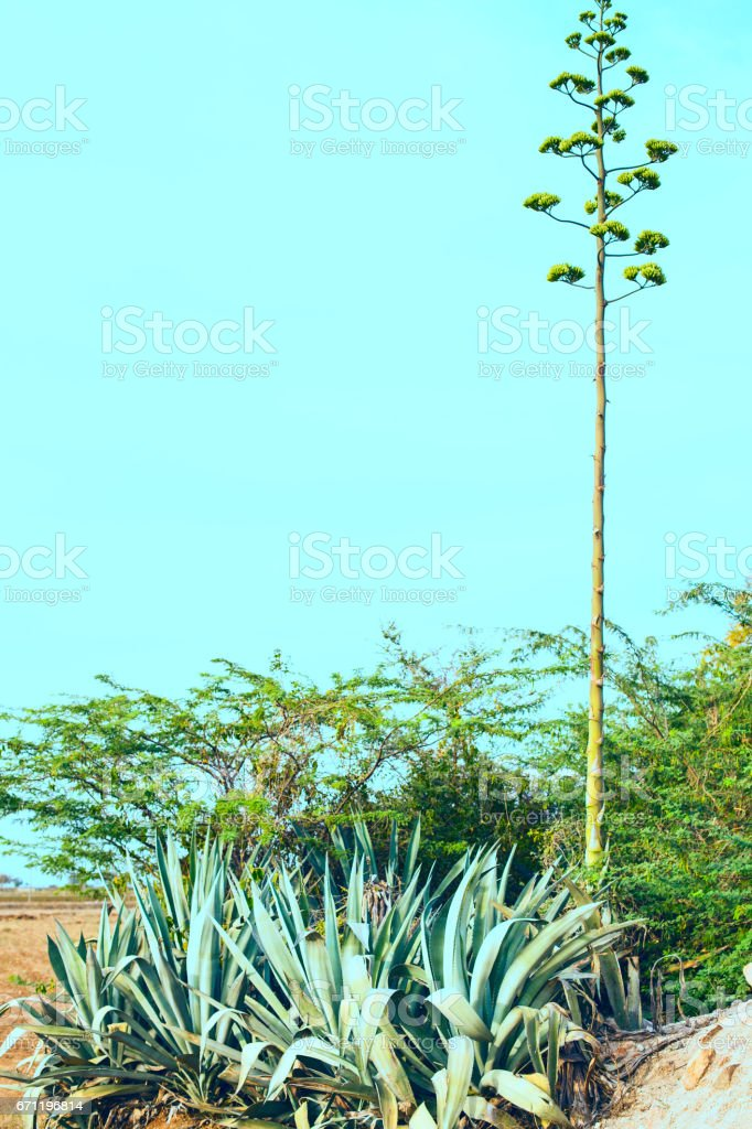 Aloe vera is a big bush. High stem stock photo