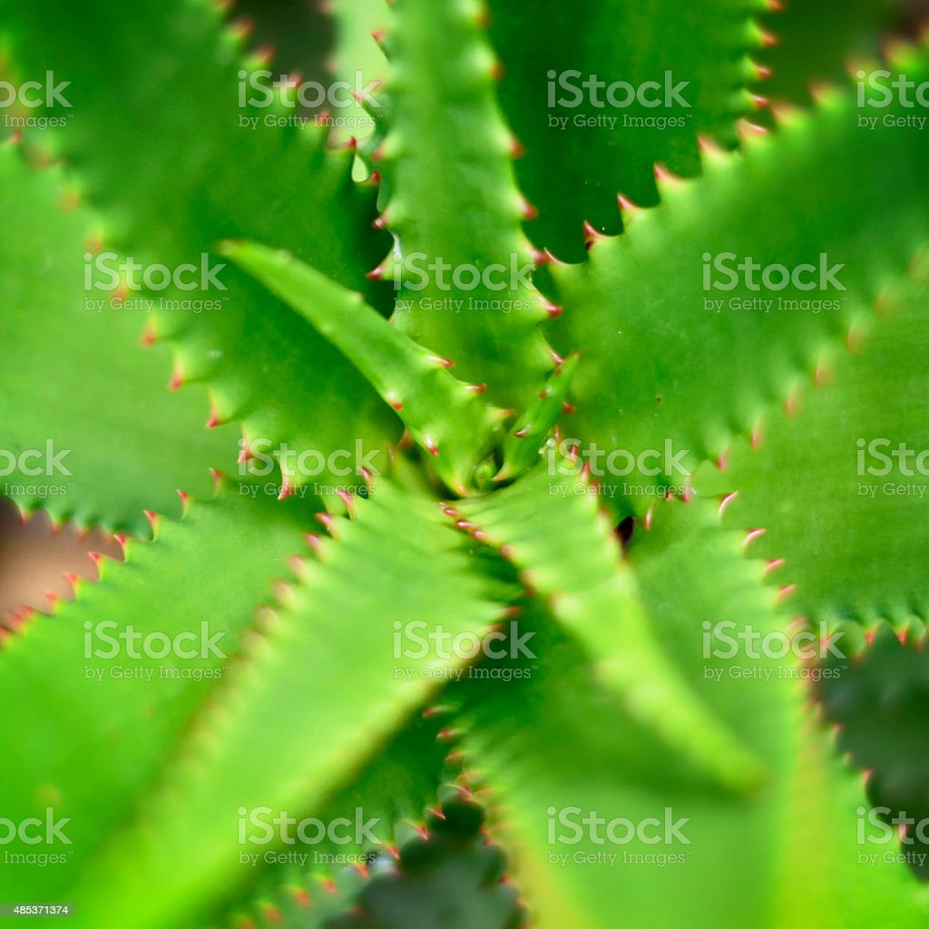 Aloe vera or cactus plant stock photo
