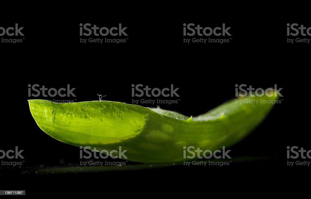 Aloe Vera (aloe barbadensis miller) stock photo