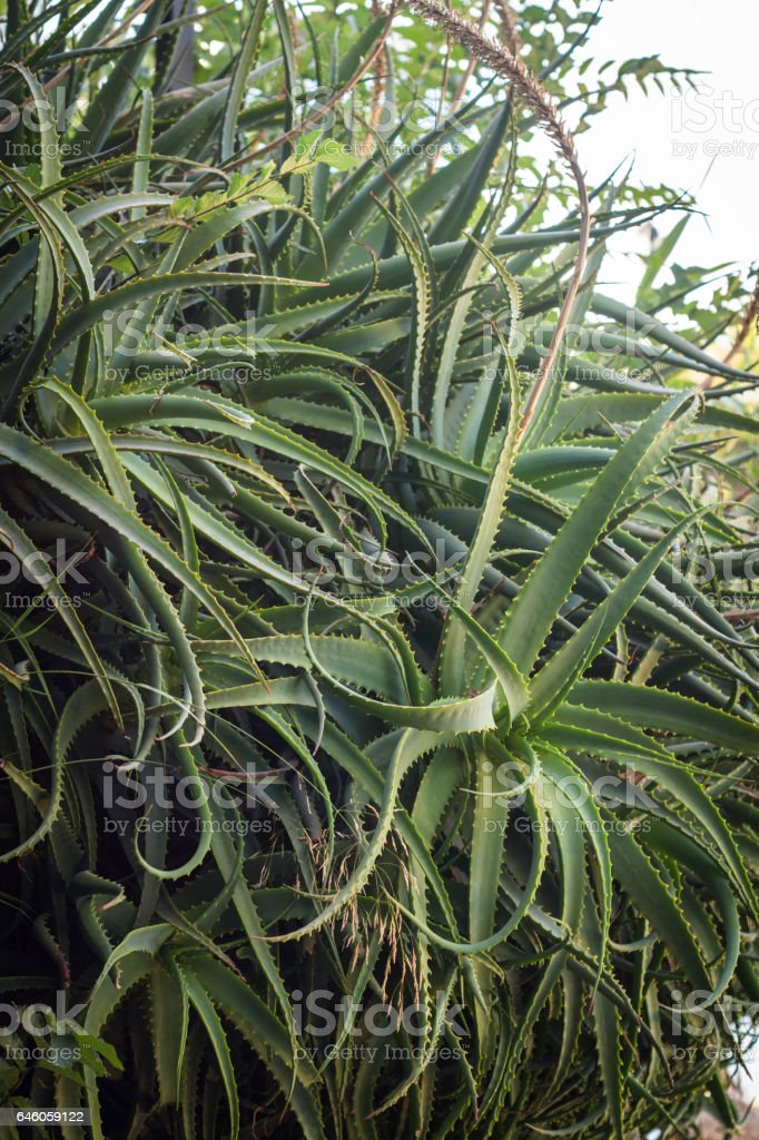 Aloe vera plant growing wild stock photo