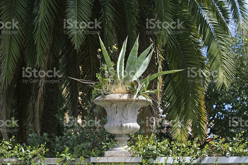 Aloe Vera plant in Rome royalty-free stock photo