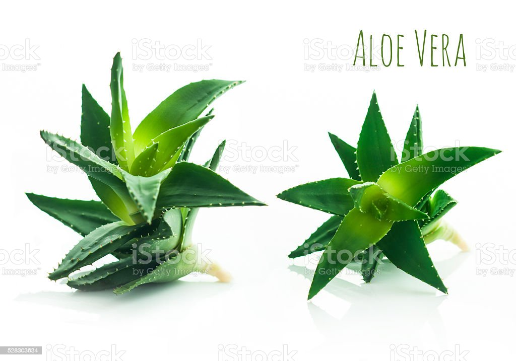 Aloe vera plant isolated on a white background stock photo