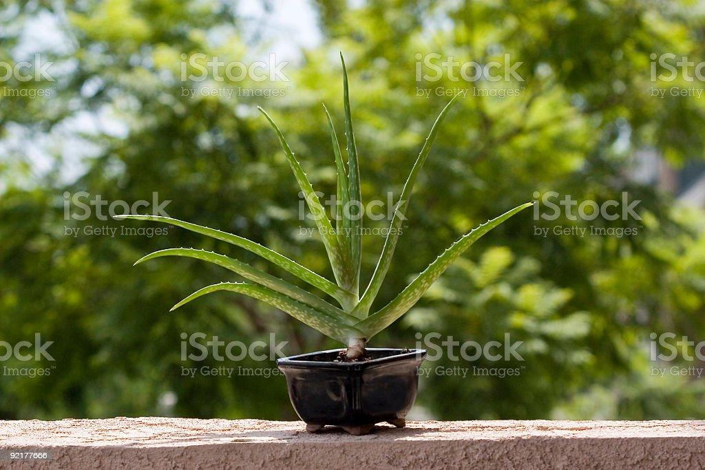 Aloe Vera Plant royalty-free stock photo
