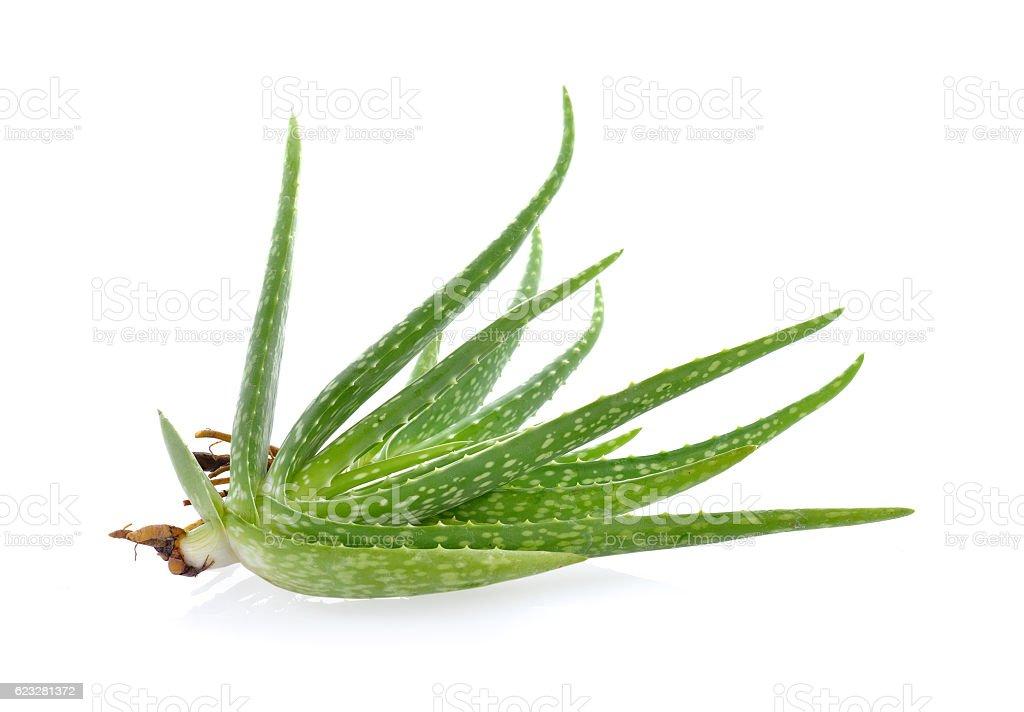 Aloe vera sliced  isolated on  white background stock photo