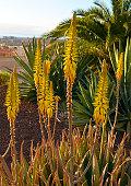 Aloe vera succulent plants with yellow flowers.