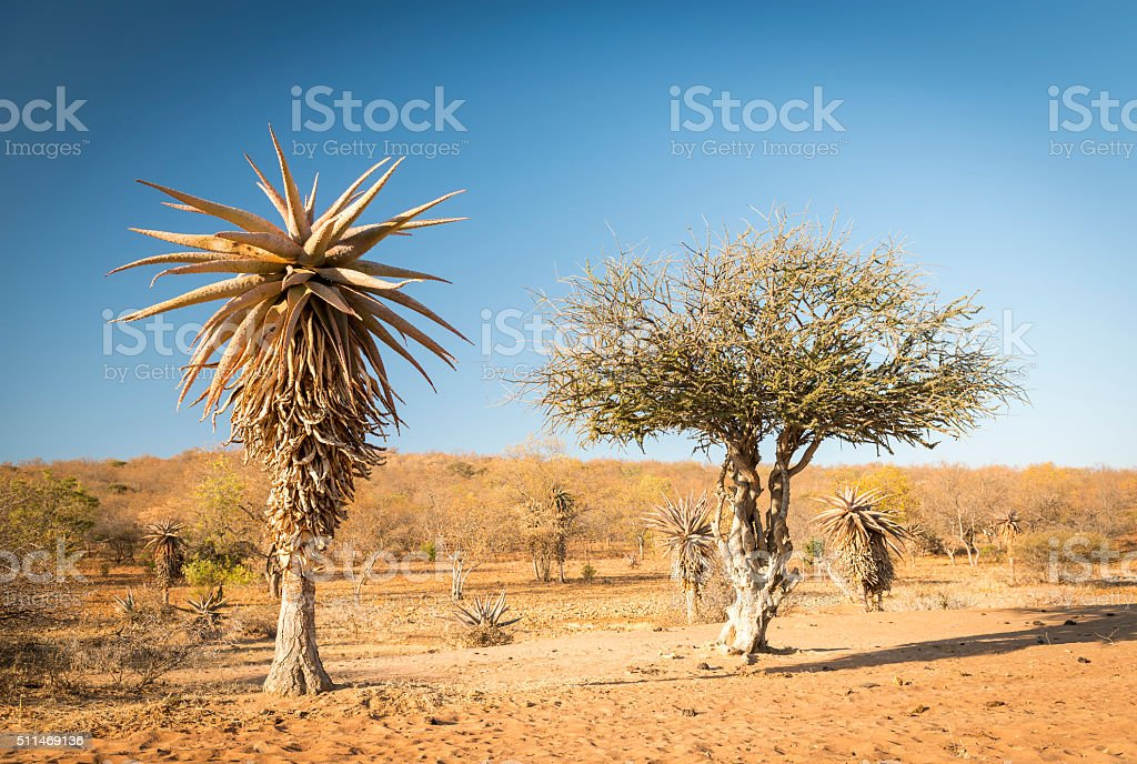 Aloe Vera Trees Botswana Africa stock photo