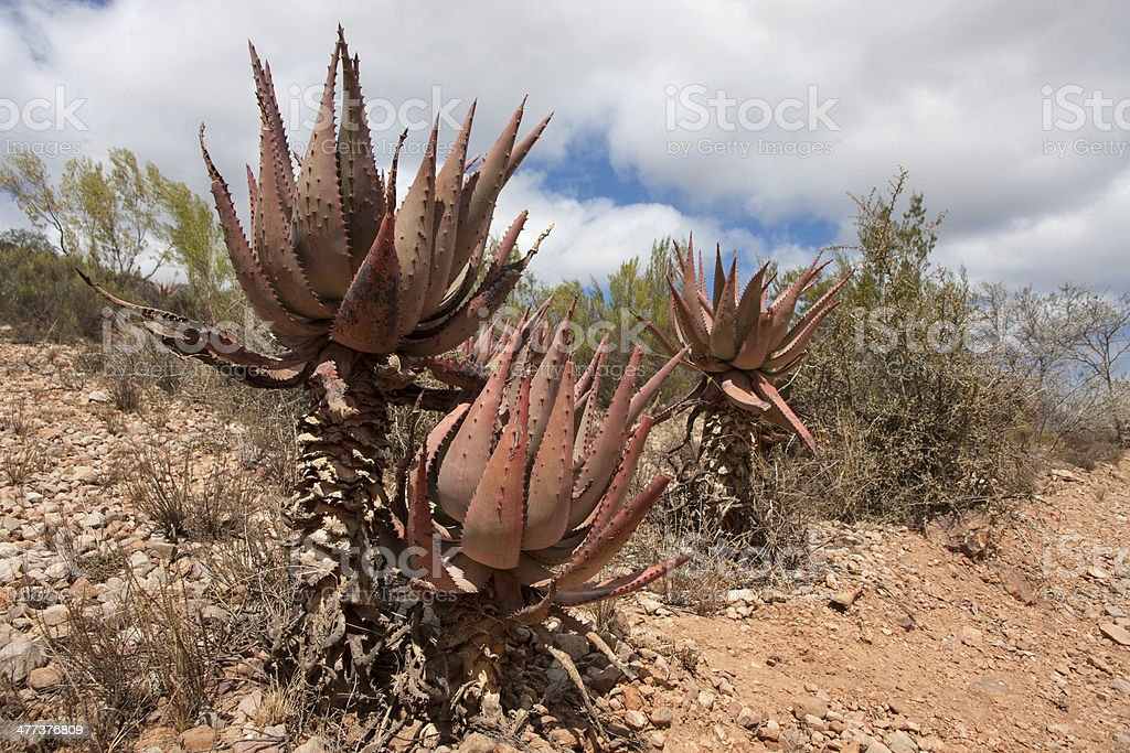 Aloes tinged red in the Eastern Cape South Africa stock photo
