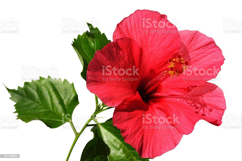 aloha hibiscus royalty-free stock photo