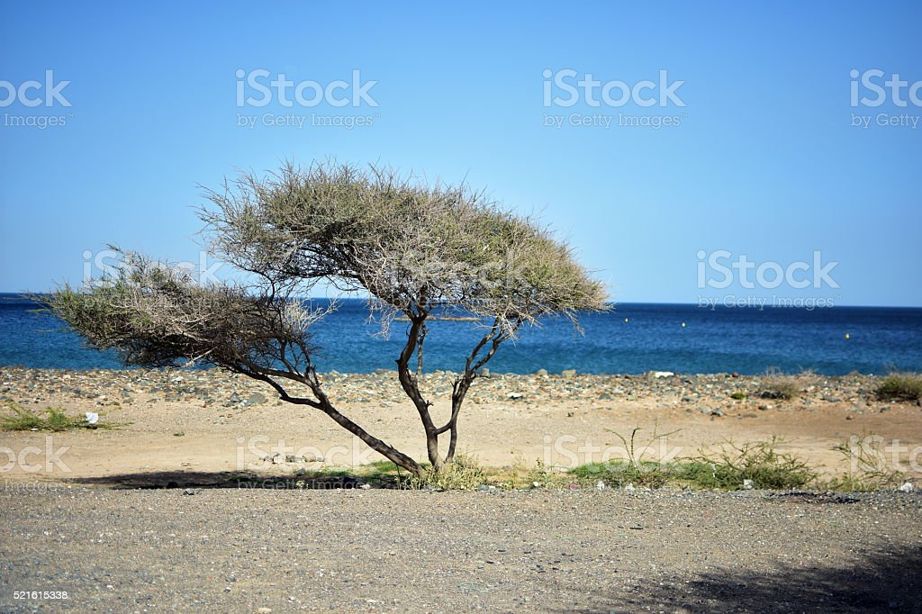 Alone Acacia tree on the Fujairah Beach, United Arab Emirates stock photo