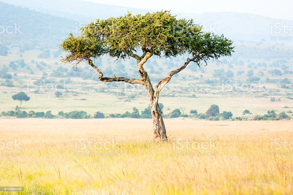 Alone Africa Acacia Tree stock photo