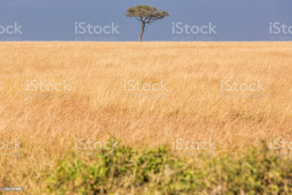 Alone Africa Acacia Tree stock photo