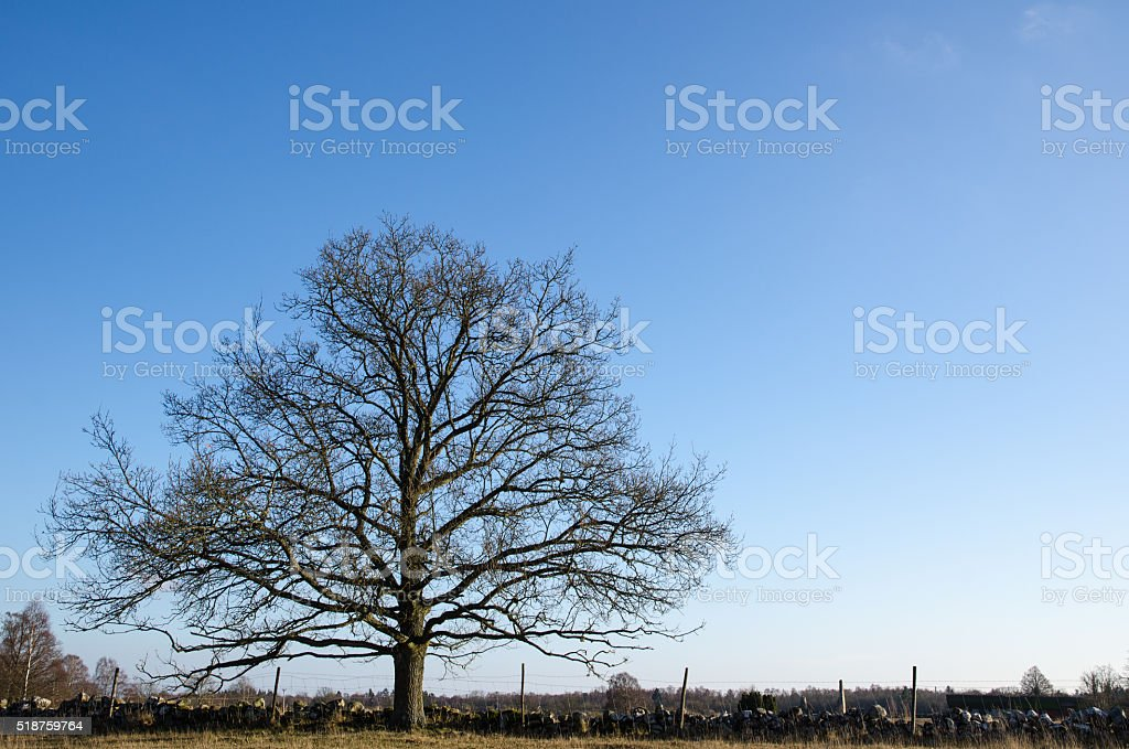 Alone and wide old oak tree stock photo