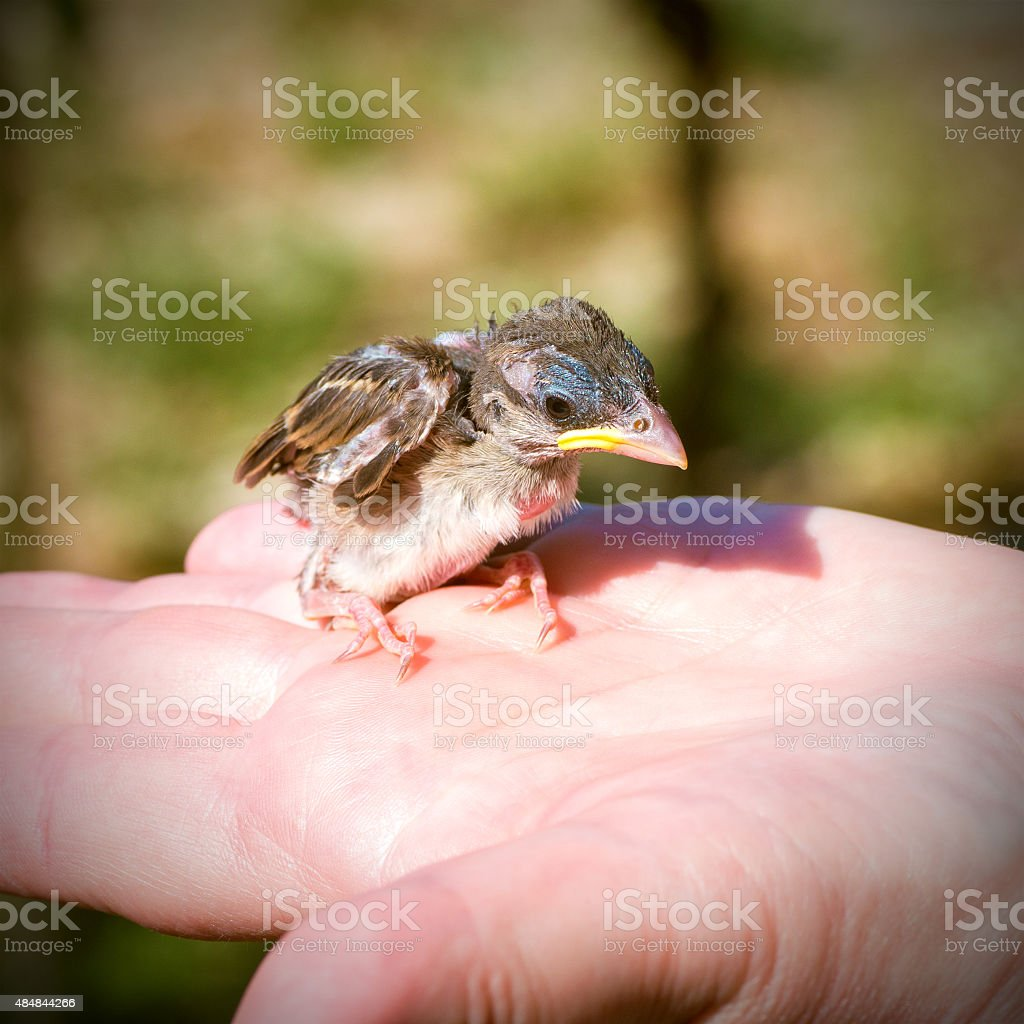 Alone baby sparrow bird in hands fallen from the nest stock photo