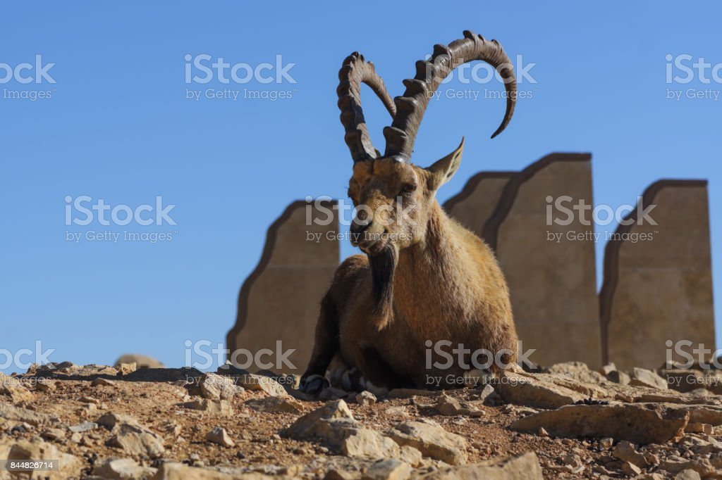 Alone capra with big horns lies on the sand stock photo