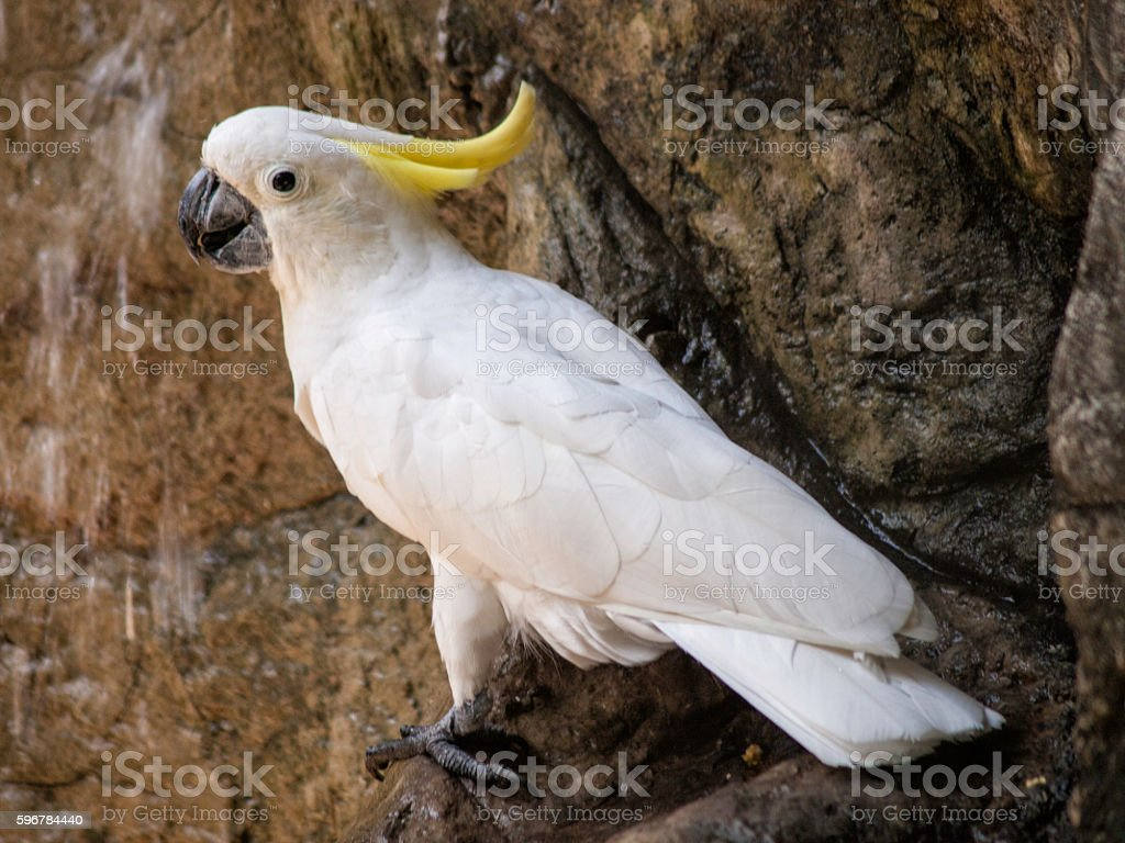 Alone cockatoo. stock photo