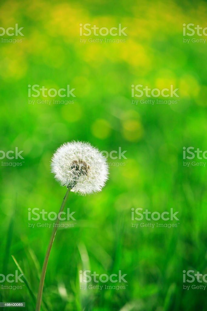Alone Dandelion stock photo