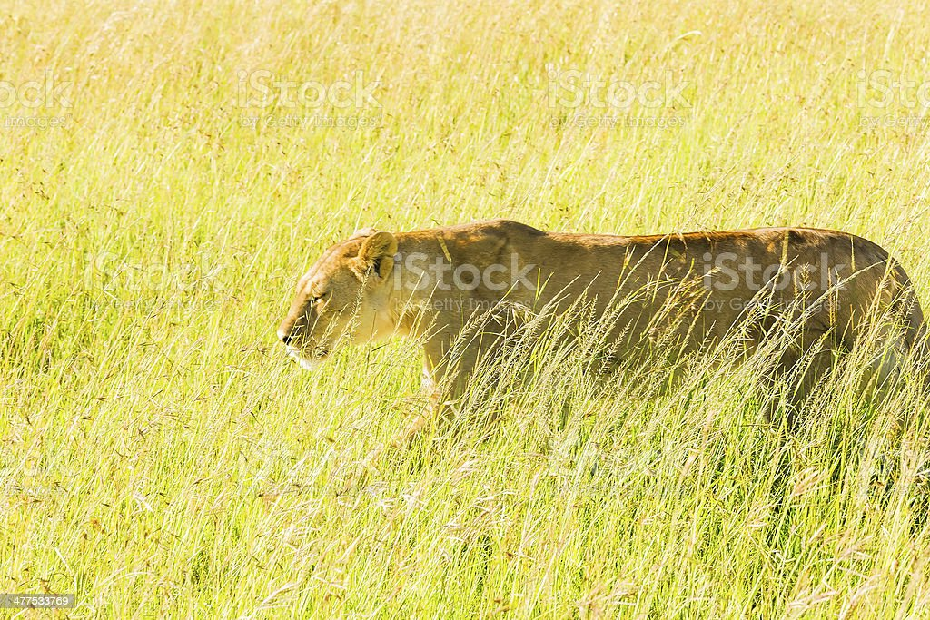 Alone Lioness at wild - hunting stock photo