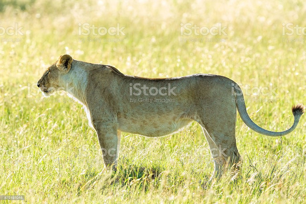 Alone Lioness at wild - ready for hunting stock photo