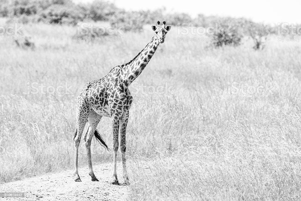 Alone Masai Giraffe stock photo