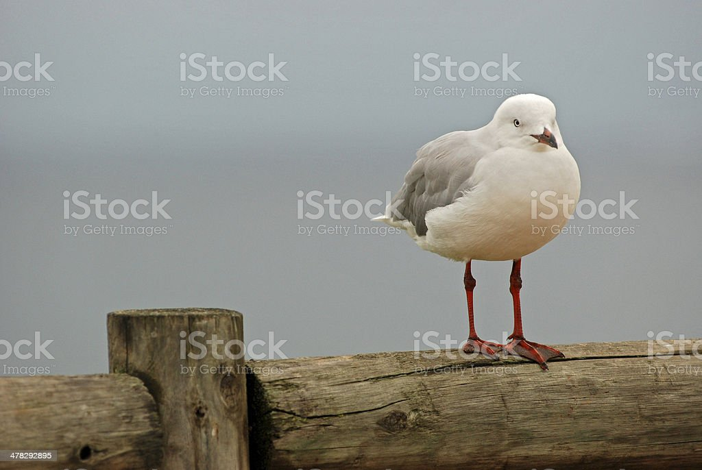 alone seagull royalty-free stock photo
