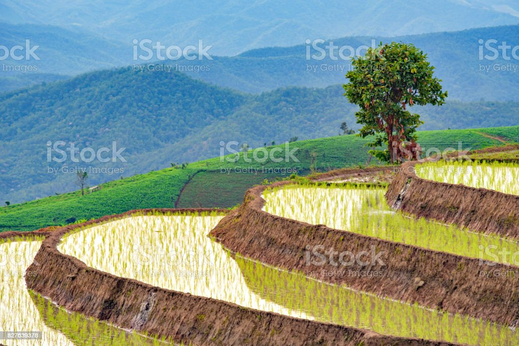 Alone Tree and Terrace Rice Field at Pa Bong Piang Hill Tribe Village, Chiangmai stock photo