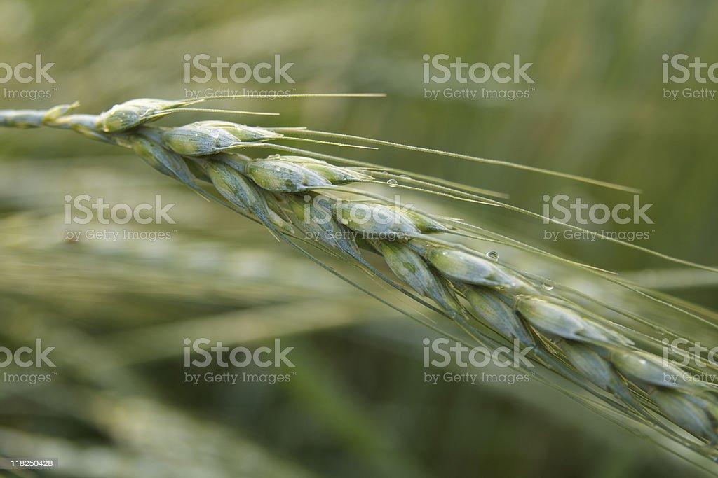 Alone Wheat royalty-free stock photo