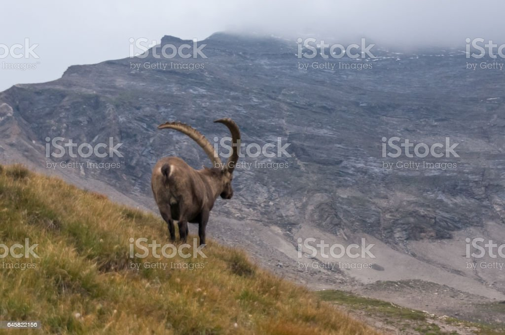 Alone wild goat in the Alps stock photo