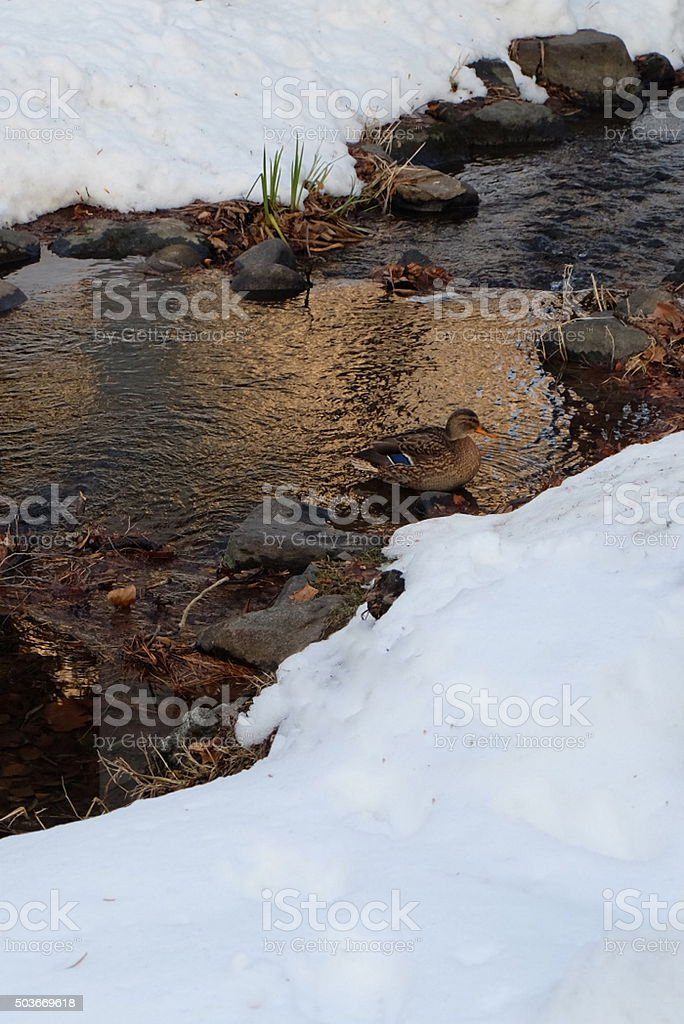 along river in winter with ducks1 stock photo