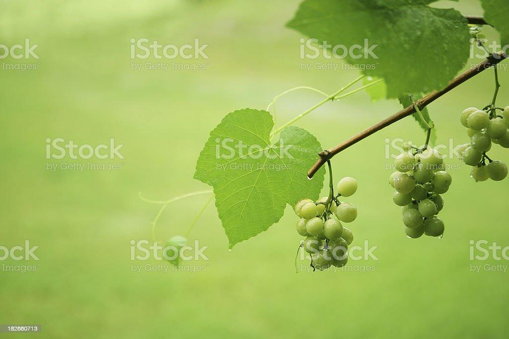 Along the Grape Vine stock photo