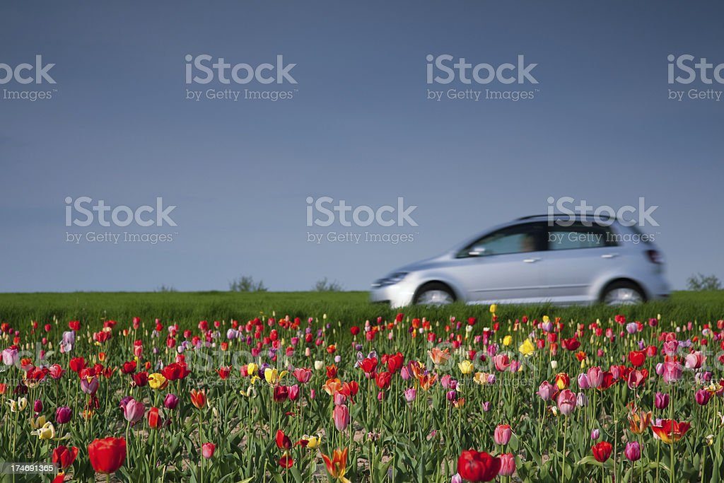 along the tulip field stock photo