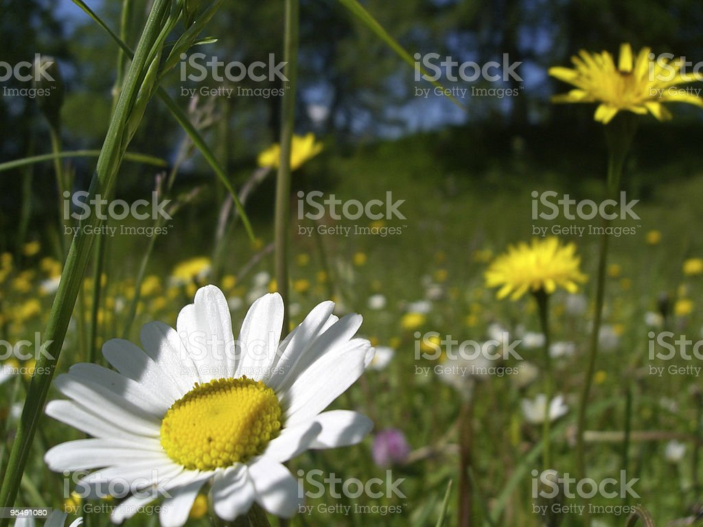 alp, flower meadow,  daisy royalty-free stock photo